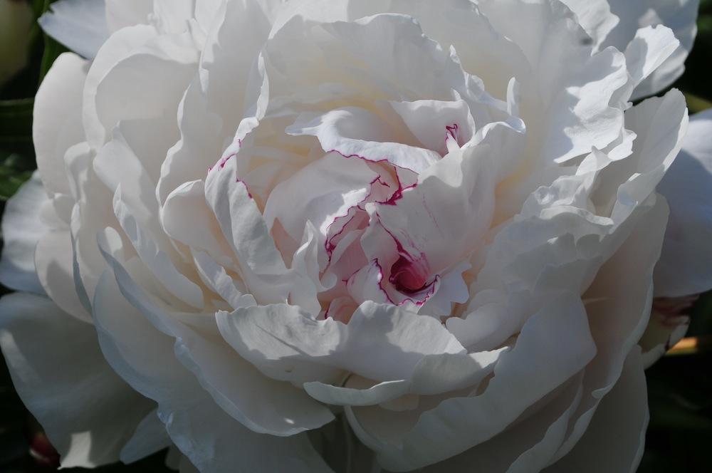 Festiva Maxima Peony Robin Kramer Garden Design Blog  http://www.robinkramergardendesign.com/rkgd-blog/