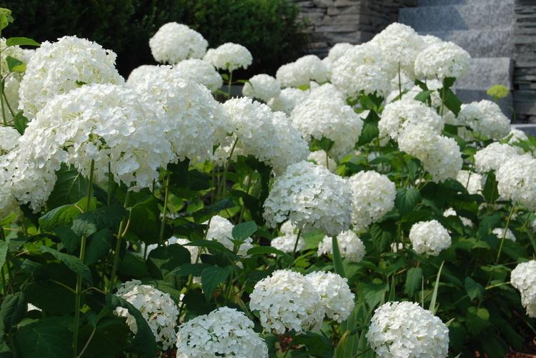 Annabelle Hydrangeas Robin Kramer Garden Design Blog  http://www.robinkramergardendesign.com/rkgd-blog/