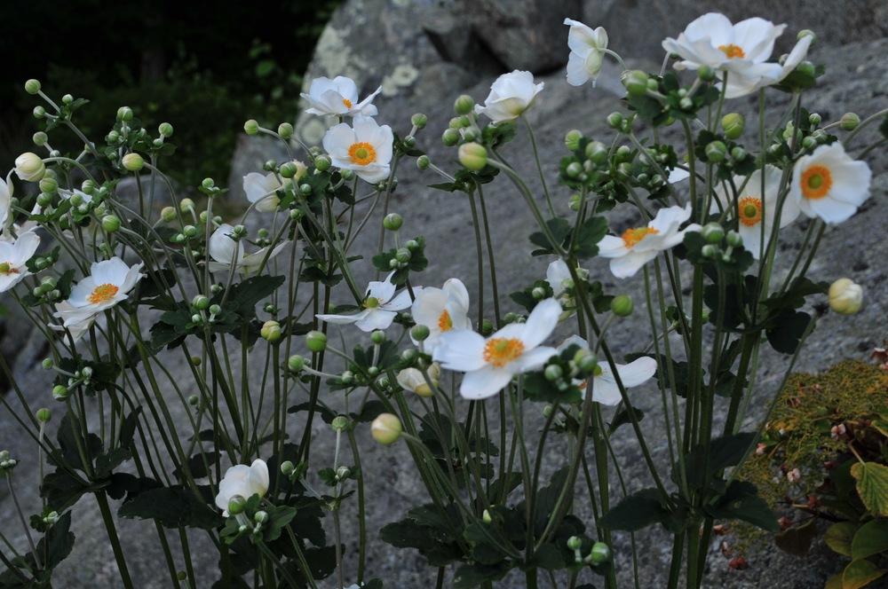 Japanese Anemone 'Honorine Jobert'  Robin Kramer Garden Design Blog  http://www.robinkramergardendesign.com/rkgd-blog/