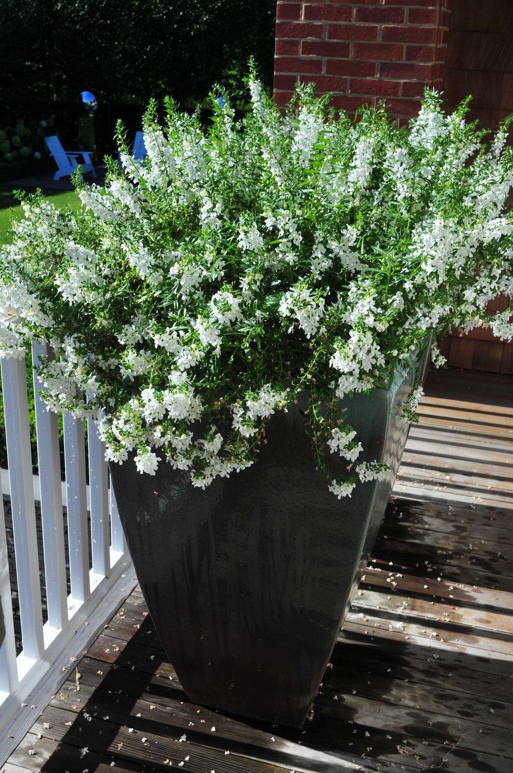 Angelonia Planters Robin Kramer Garden Design  http://www.robinkramergardendesign.com/rkgd-blog/