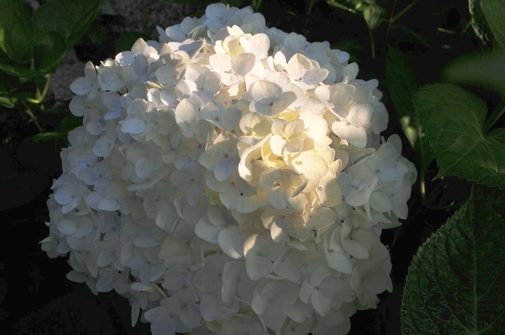 Annabelle Hydrangea Robin Kramer Garden Design Blog http://www.robinkramergardendesign.com/rkgd-blog/