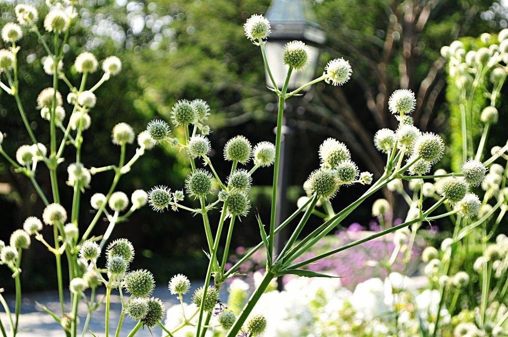 Eryngium Yuccifolium Rattlesnake Master Robin Kramer Garden Design Blog  http://www.robinkramergardendesign.com/rkgd-blog/