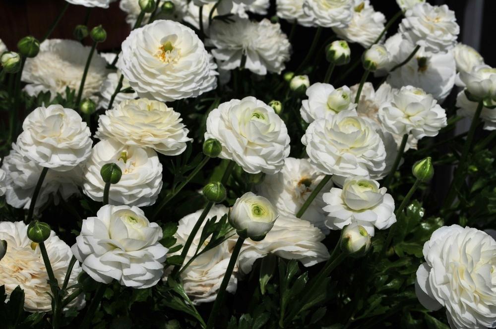 White Ranunculus Robin Kramer Garden Design Blog http://www.robinkramergardendesign.com/rkgd-blog/