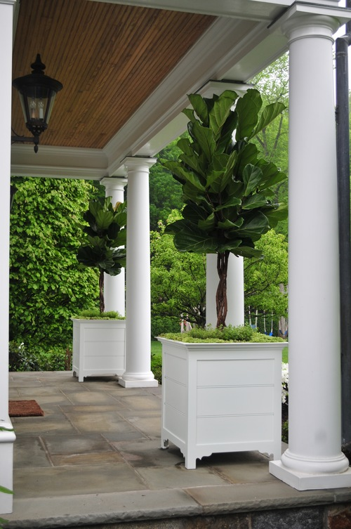 fig trees in planters robin kramer garden design blog httpwwwrobinkramergardendesign