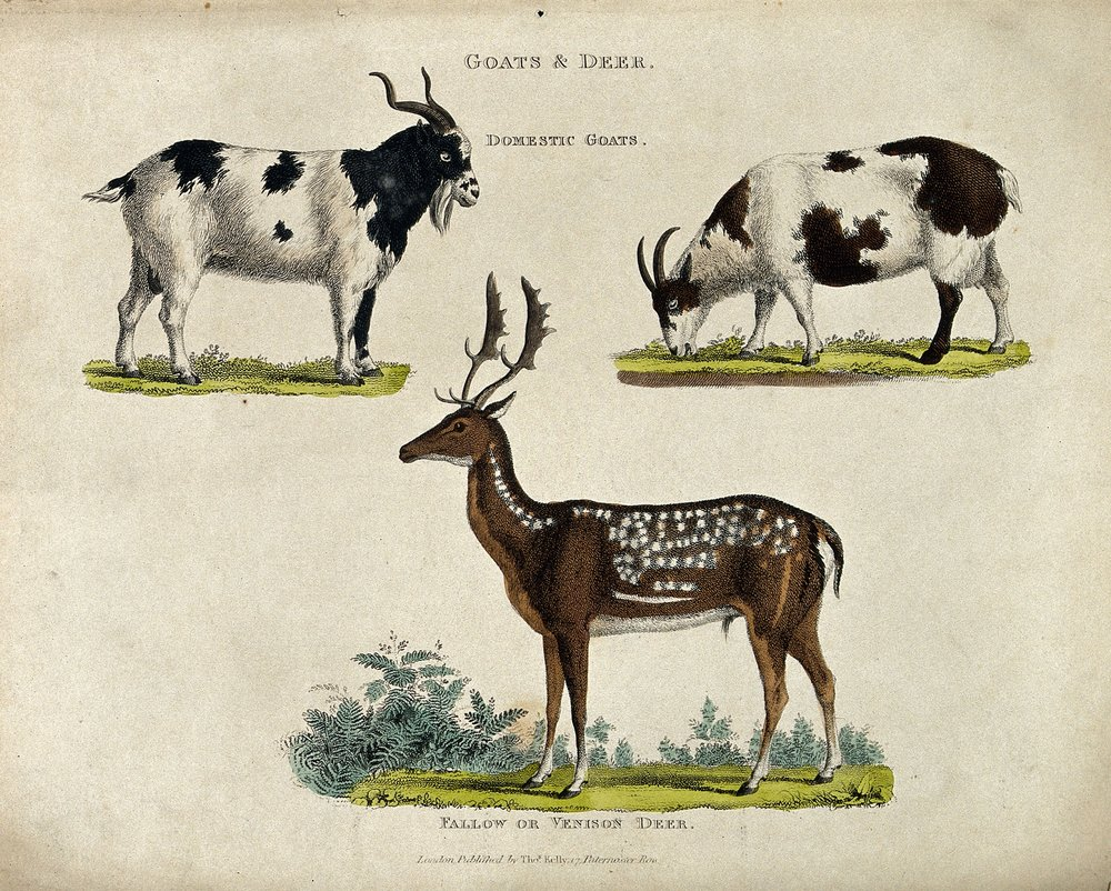 A_male_and_female_domestic_goat_and_a_fallow_deer_stag._Colo_Wellcome_V0021557.jpg