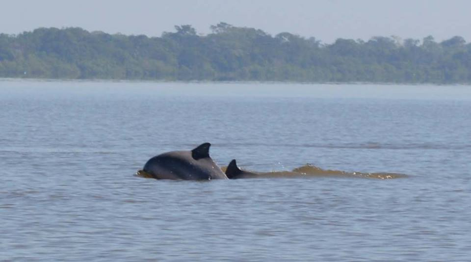 Dolphins - Ucayali River.jpg