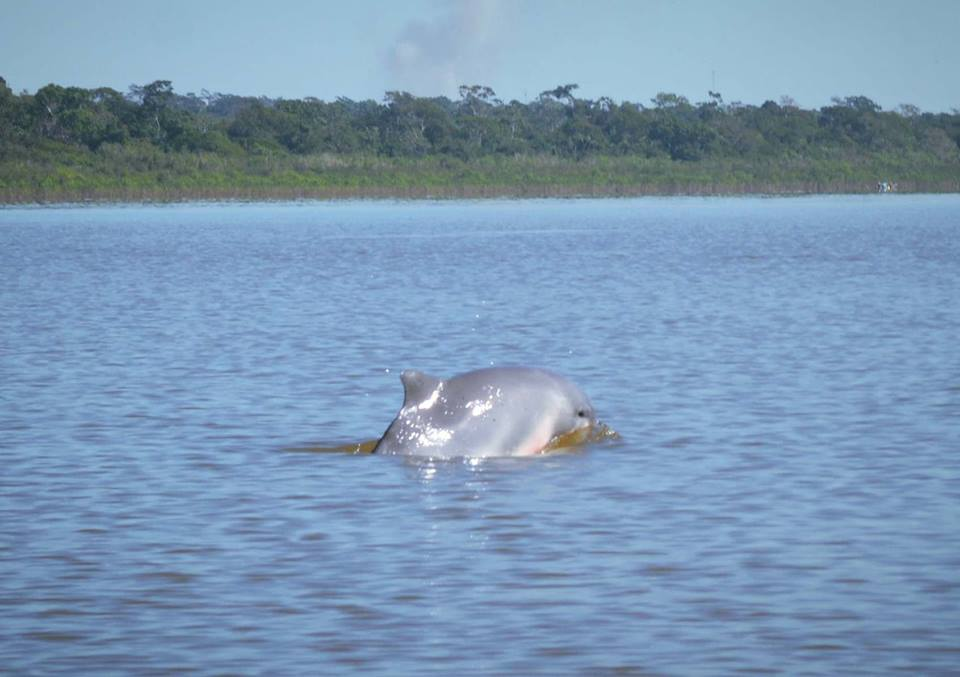 Dolphins on the Ucayali River