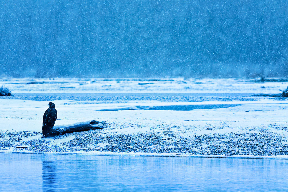 "Image Title: ""Eagle in Snowfall"""
