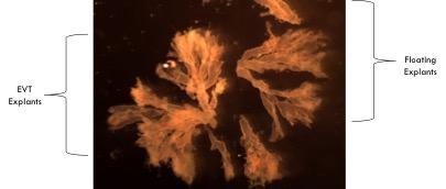 In vitro placental tissue explant culture.jpg