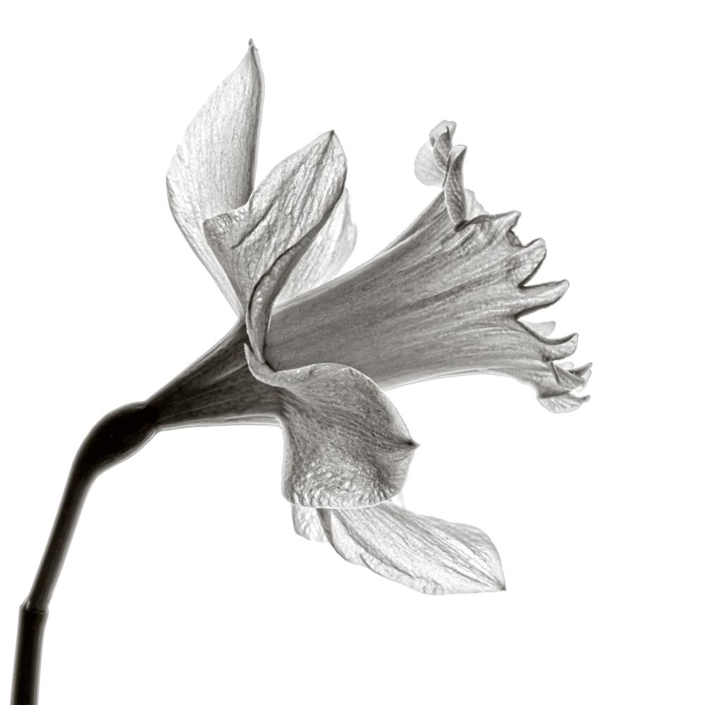 Mono Daffodil