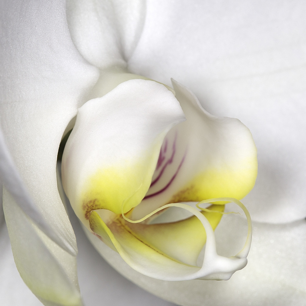 OrchidWhite-2.jpg