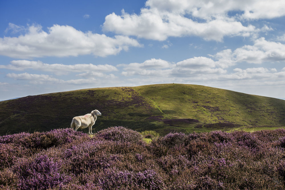 Long mynd sheep
