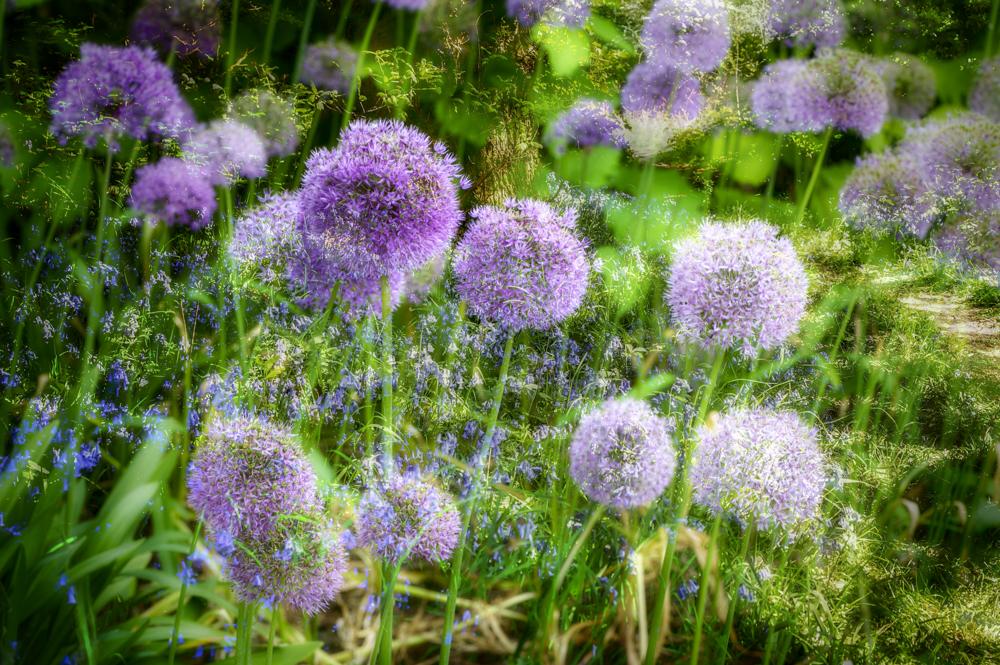 Allium & Bluebell