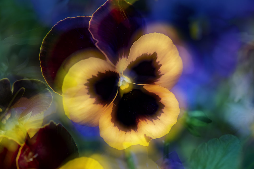 Pansy eclipse