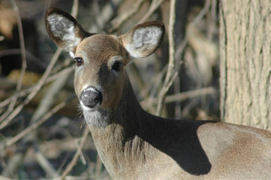 Teaneck Creek Conservancy Deer.jpg