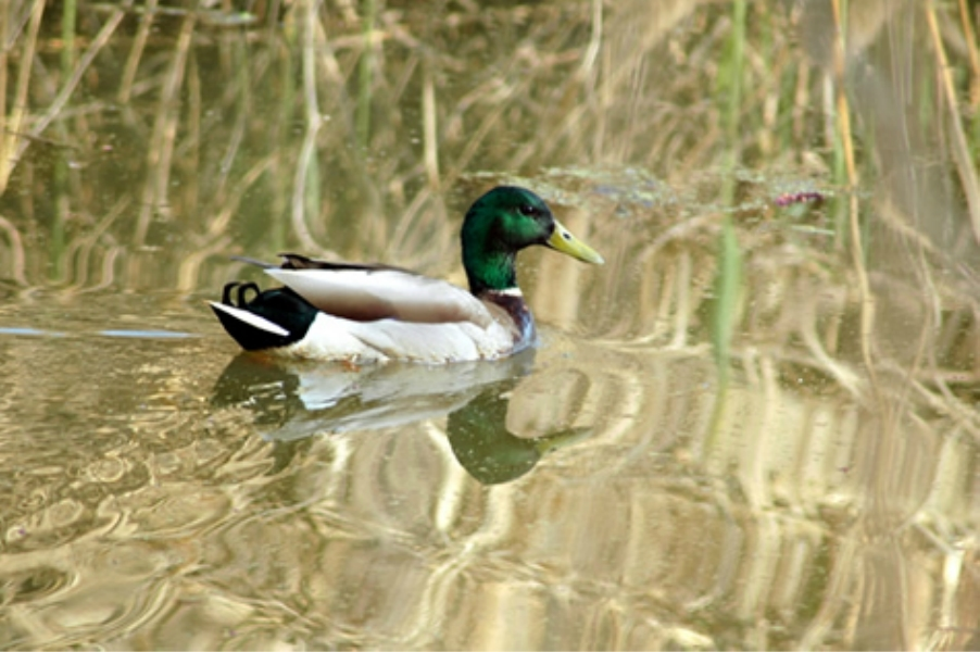 Teaneck Creek Conservancy Mallard.jpg