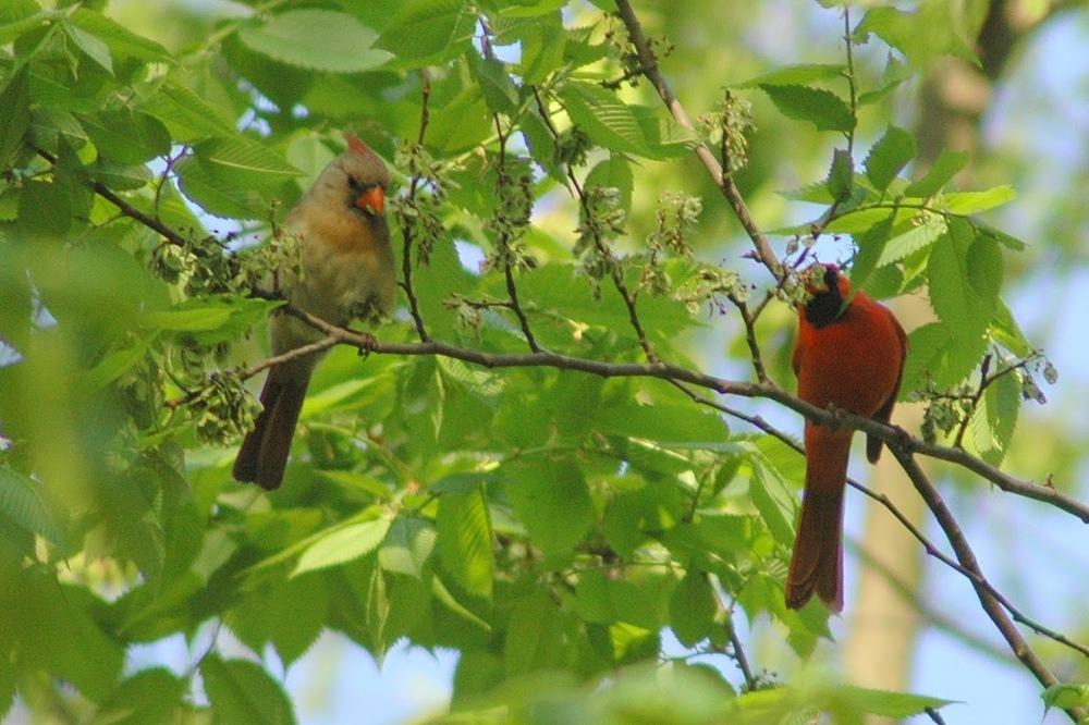 Cardinal (female and male).jpg