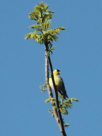 Eastern Goldfinch.JPG