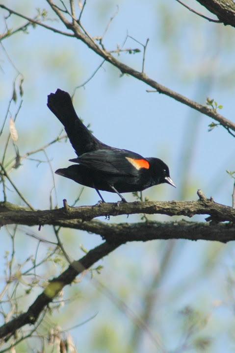 Redwing Blackbird.jpg