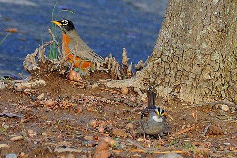 robin and sparrow.jpg