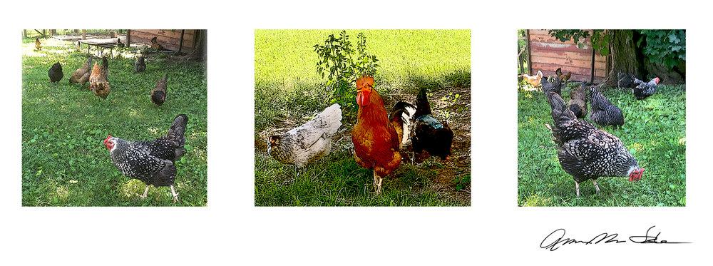 RoosterTriptic.jpg