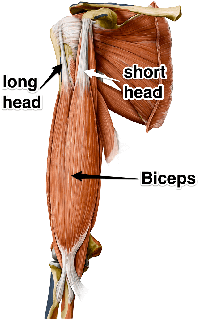 Not So Gross Anatomy Biceps B3 Wellness