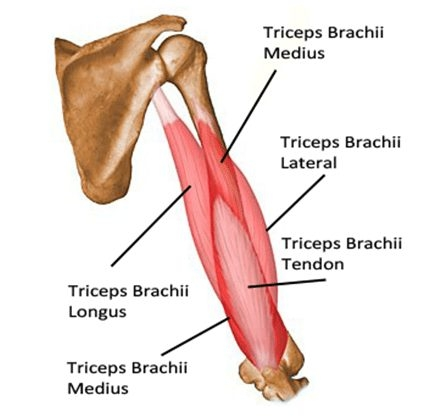 anatomy-of-triceps-the-9-best-tricep-workout.jpg