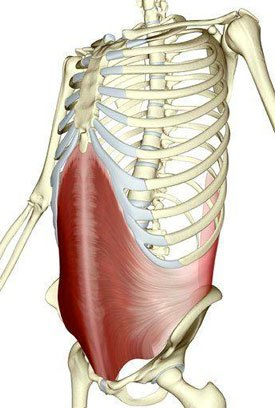 Notice the striations of the muscle fibers as the TA wraps the body from posterior to anterior. (Custom Pilates and Yoga)