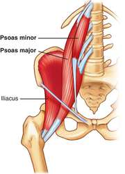 Psoas major, minor, and illiacus.