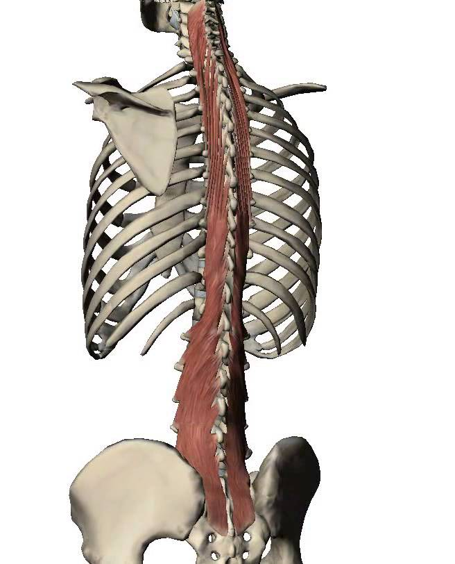 The multifidus buttons up the posterior of the spine.