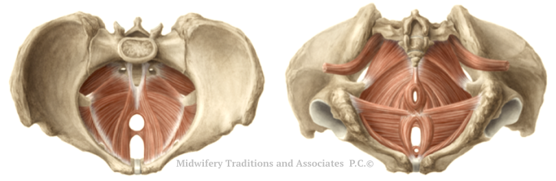 Left pelvis is male. Right is female. Pelvic floor muscles shown