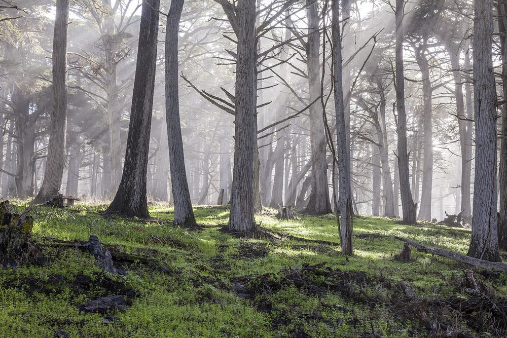 monterey cypress grove. pebble beach, ca