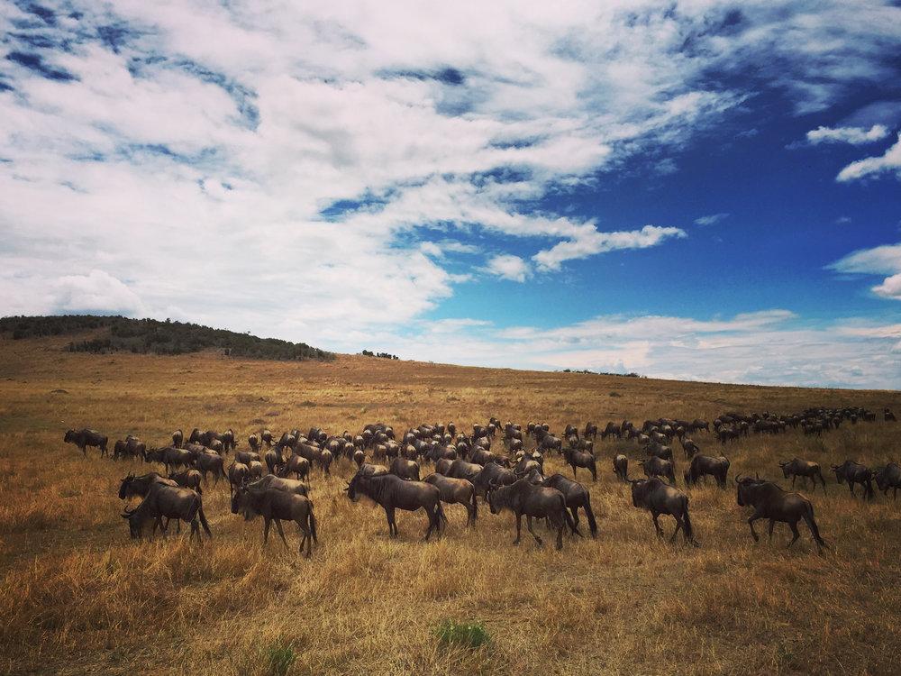 8 wildebeest (1).jpg