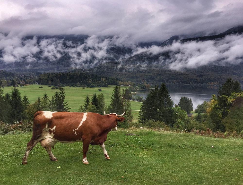 Bohinj cow.jpg