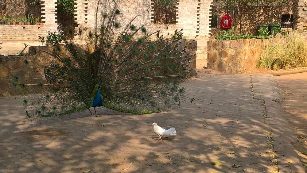 Peacock in the hotel courtyard
