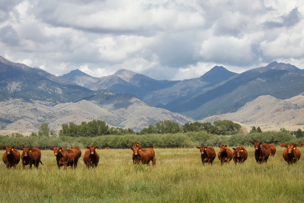 Annually, 5L Red Angus breeds nearly 2,000 registered females.