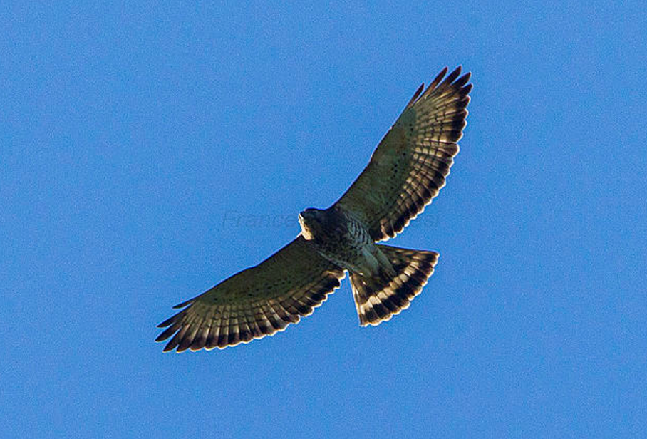 Image courtesy of Francesco Veronesi from Italy (Broad-winged Hawk - Cuba_S4E9781-Modifica) [CC BY-SA 2.0 (http://creativecommons.org/licenses/by-sa/2.0)], via Wikimedia Commons