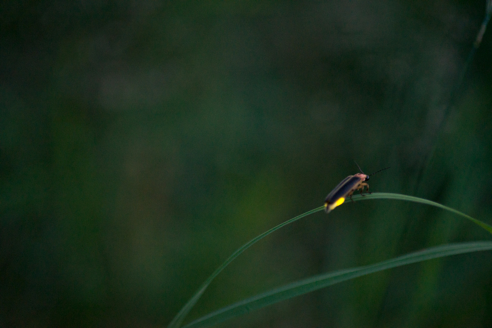 fireflies-caumet-park-long-island-long-exposure-0011