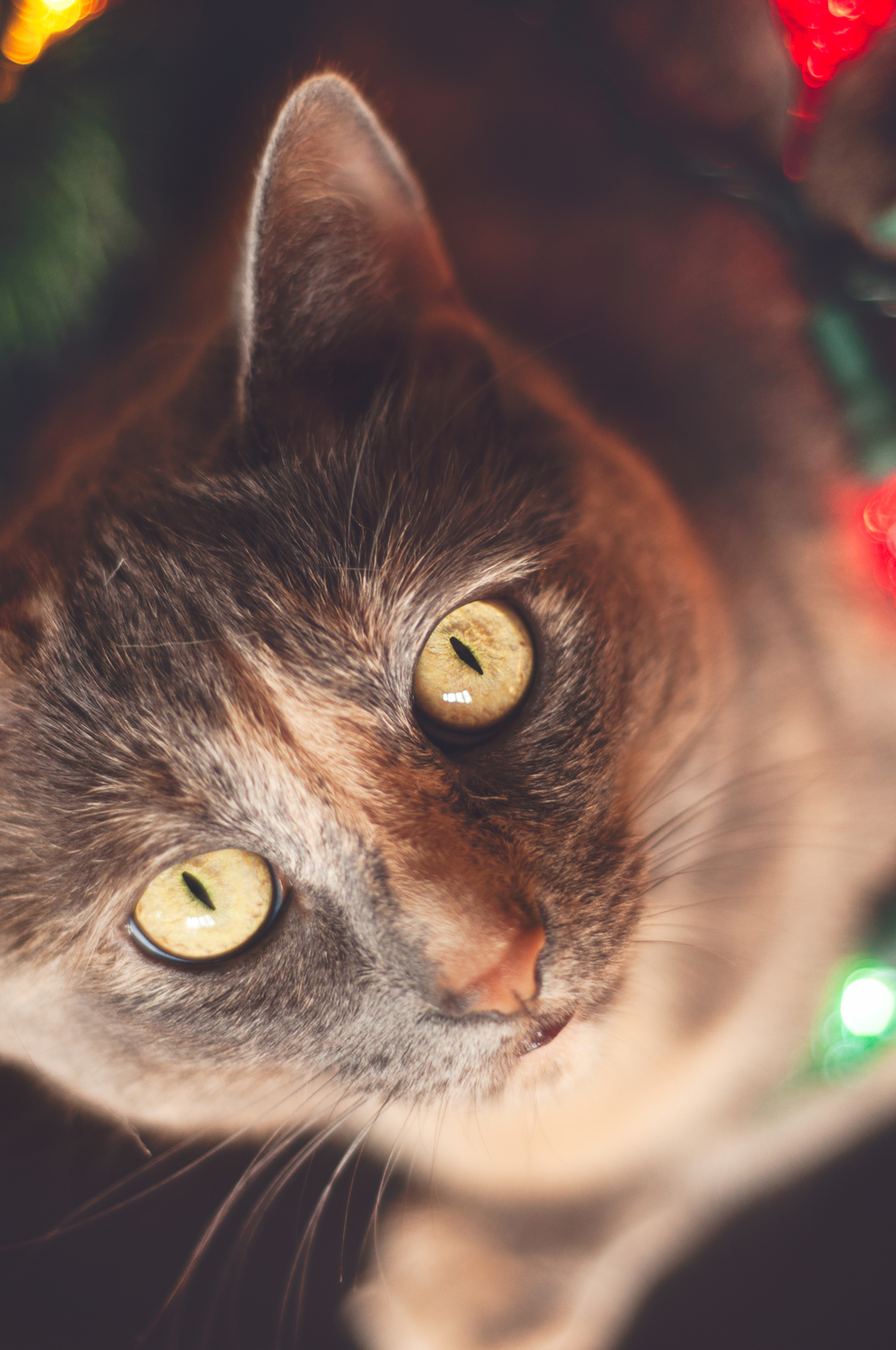pet-photography-studio-natural-light-lifestyle-cat-closeup-holiday-long-island-photographer-digital.jpg