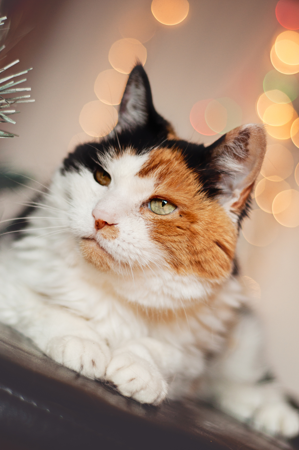 pet-photography-studio-natural-light-lifestyle-cat-holiday-long-island-photographer-digital.jpg