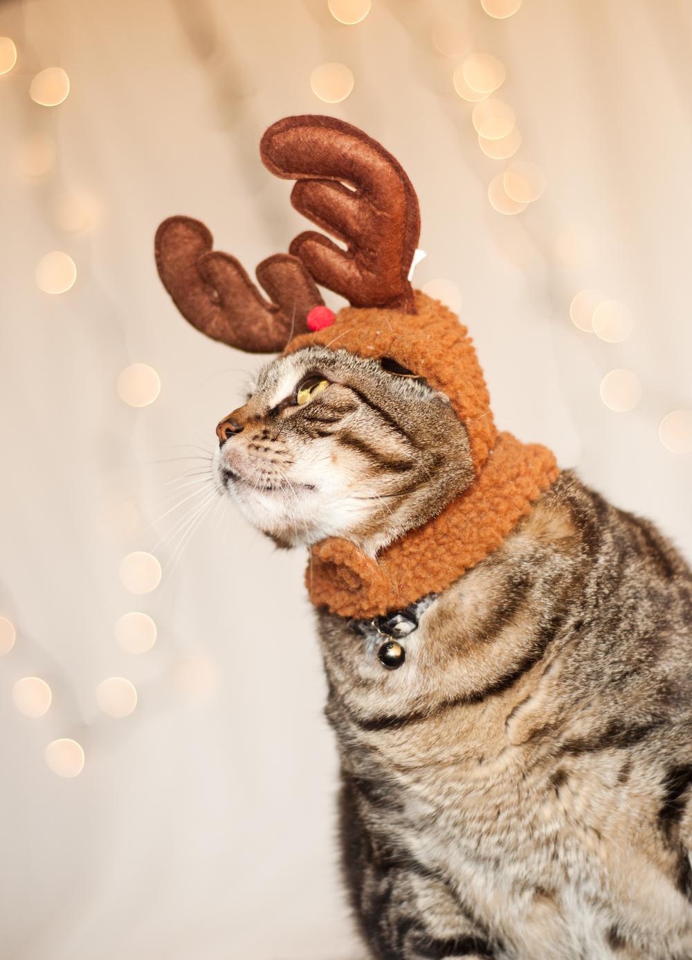 pet-photography-studio-natural-light-lifestyle-cat-reindeer-holiday-long-island-photographer-digital.jpg