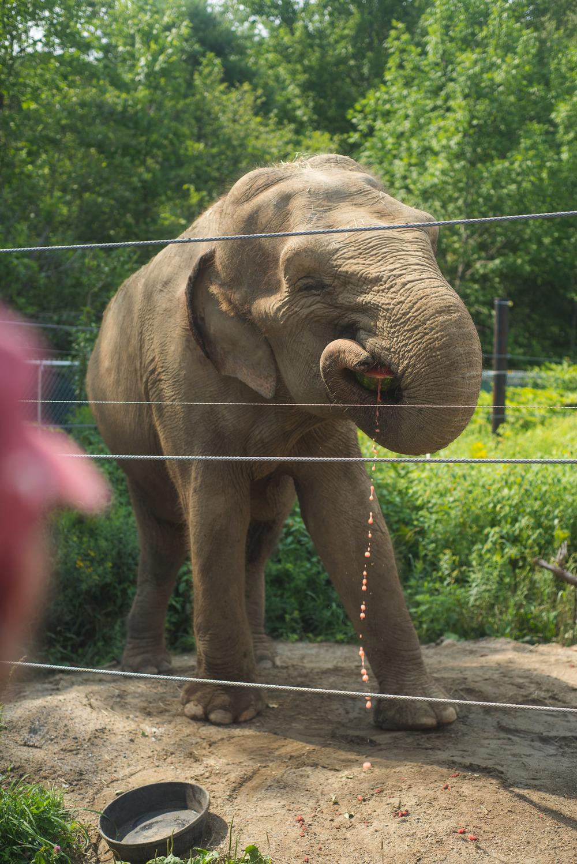 Elephants are big fans of watermellon