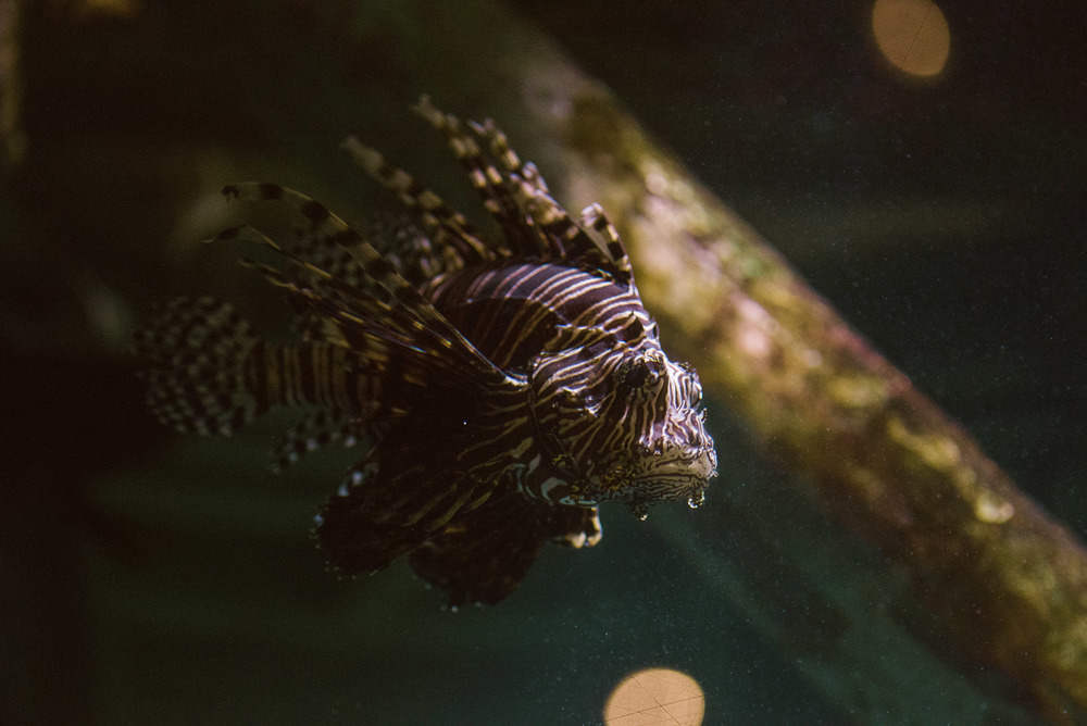 travel-photography-long-island-ny-atlantis-aquarium-riverhead-ny-tigerfish-photographer-digital.jpg