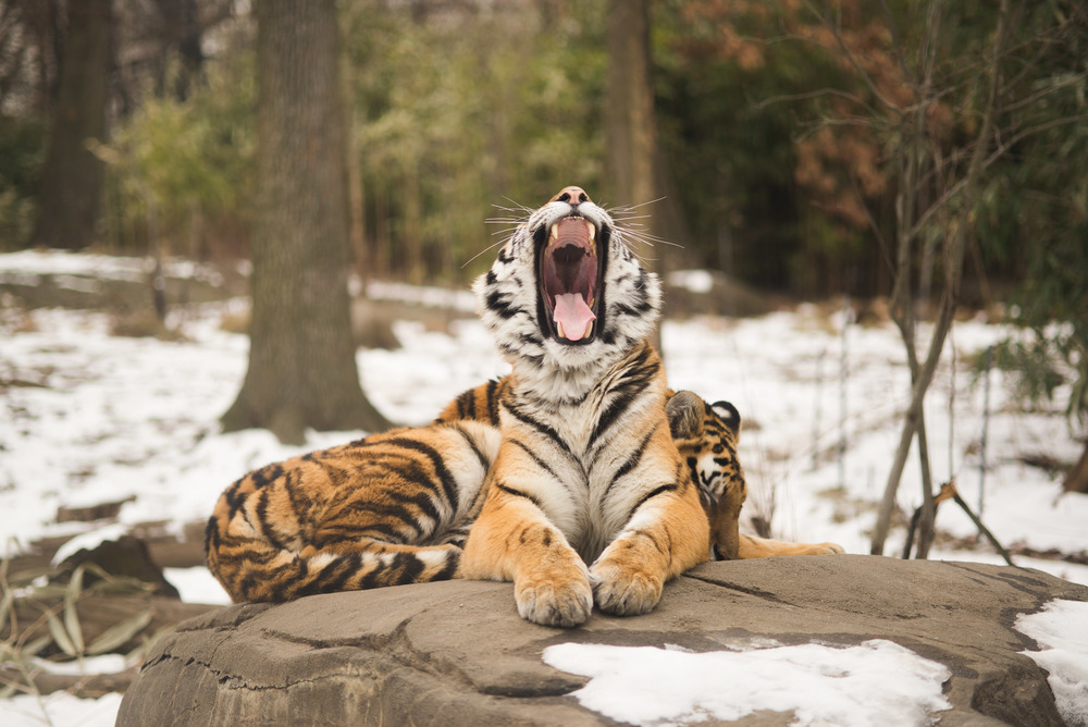 travel-photography-long-island-ny-nyc-bronx-zoo-tiger-yawning-photographer-natural-light-digital-6.jpg