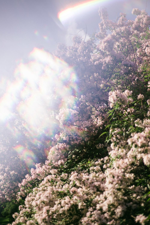 travel-photography-long-island-ny-nyc-brooklyn-botanical-garden-cherry-blossom-tree-prisiming-photographer-natural-light-digital-39.jpg