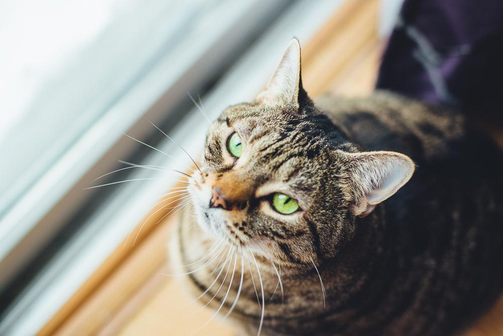 pet-photography-natural-light-lifestyle-cat-long-island-photographer-digital.jpg