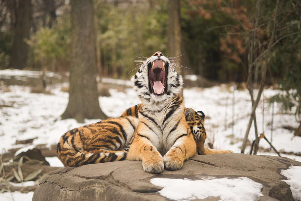 Bronx-zoo-ny-tiger-snow-winter-nyc-travel-photography-011.jpg