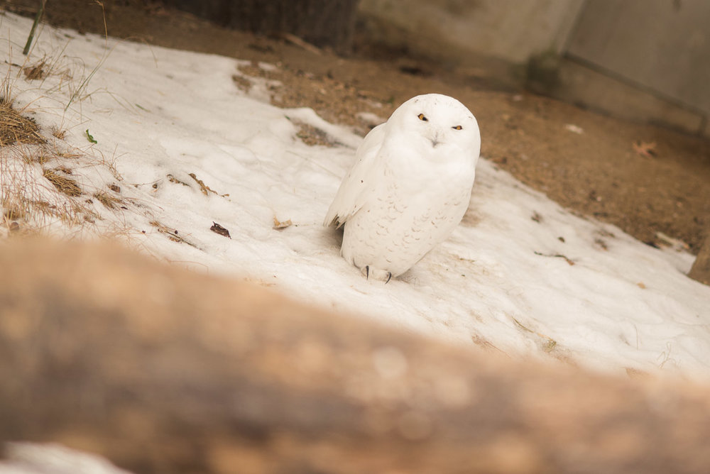 Bronx-zoo-ny-owl-snow-nyc-travel-photography1.jpg