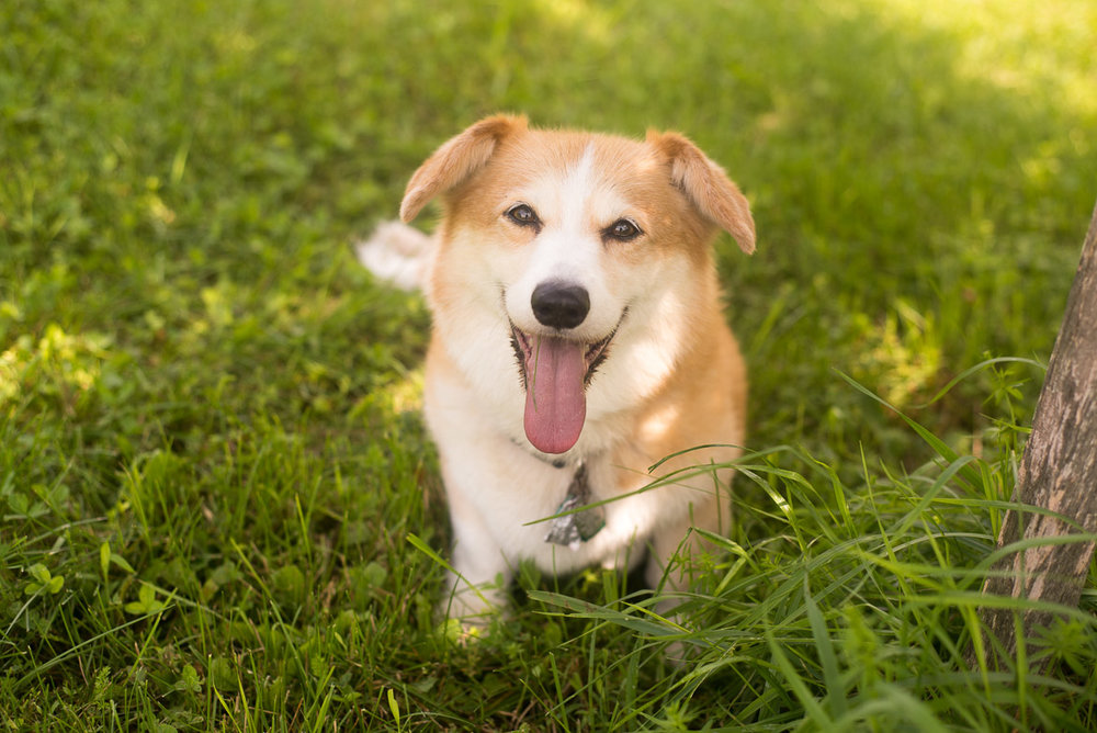 dog-summer-corgy-happy-sun-maine.jpg