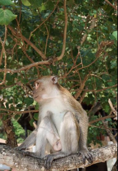 Resident Monkeys at the Rayavadee Hotel in Krabi, Thailand